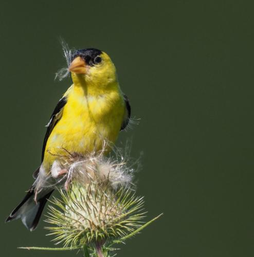 American Goldfinch on thistle  22  Nature  Gold  John  Strung