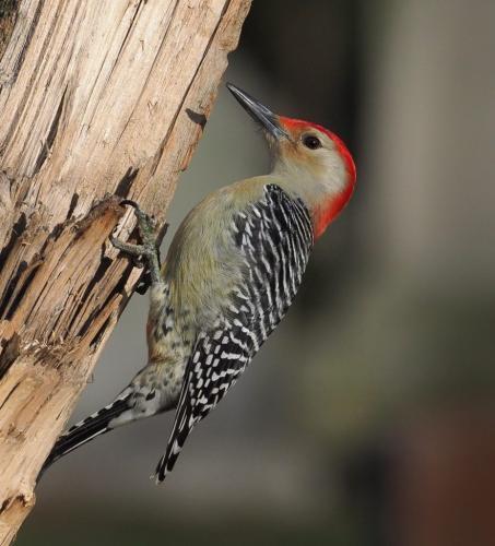 Red-bellied Woodpecker  23.5  Nature  Gold  John  Strung
