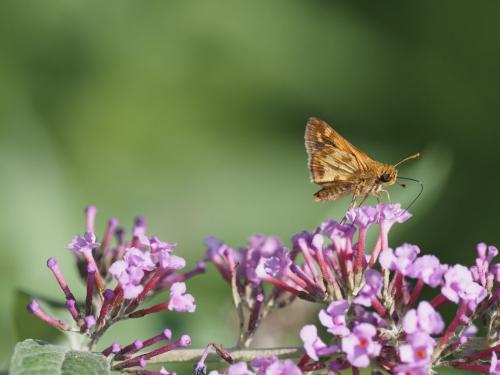 Skipper Butterfly  21.5  Nature  Gold  John  Strung