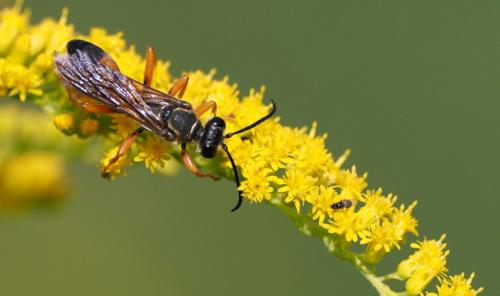Wasp on Butterfly Bush  22.5  Nature  Gold  John  Strung