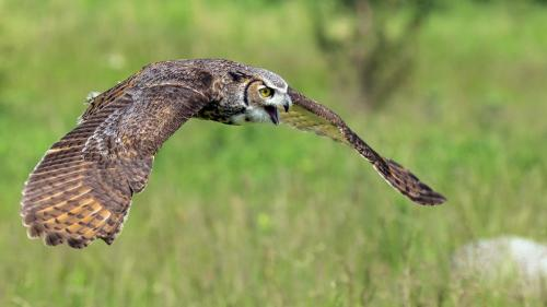 HORNED OWL IN FLIGHT  24  Nature  Gold  Jim  Swire