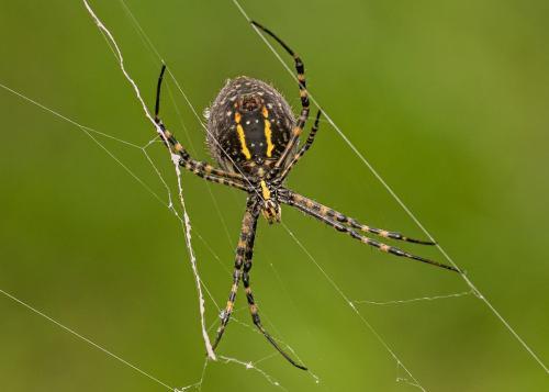 Banded Garden Spider  24.5  Nature  Gold  Art  Ward