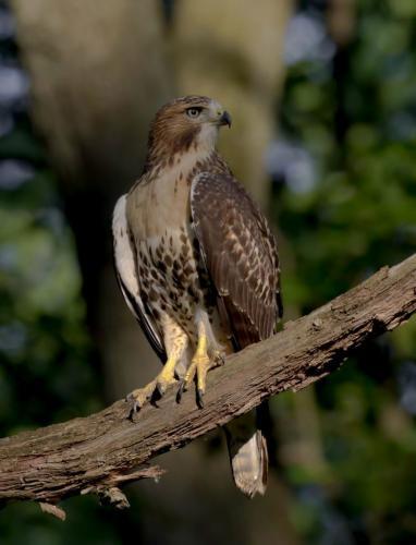 Juvenile Red-tailed Hawk  21  Nature  Gold  Pat  Wintemute