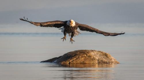 Bald Eagle Taking Off  23  Nature  Gold  David  Evans