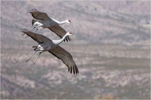 Sandhill Cranes in Flight  20.5  Nature  Silver  Catherine  Chow