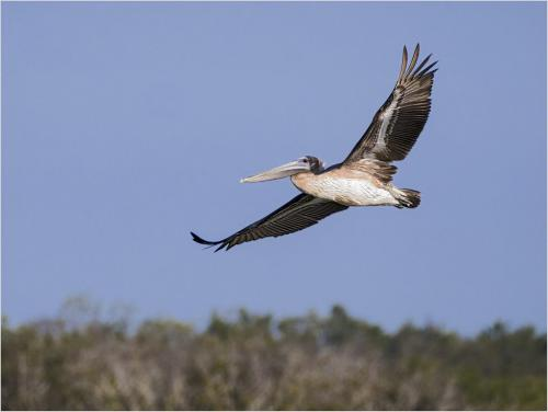 Brown Pelican in Flight  21  Nature  Silver  Catherine  Chow