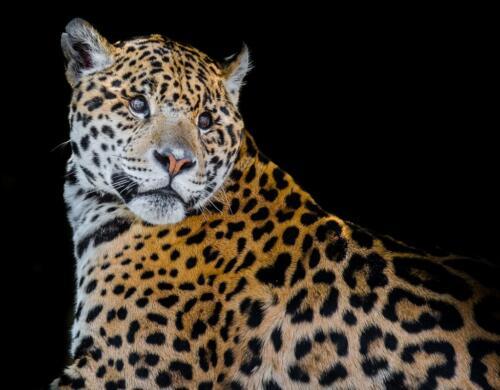 Jaguar  24.5  Pictorial  Gold  Bert2nd  Francous