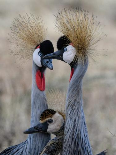 Crested Crane Family  21  Nature  Gold  Peter  Bartens  Great nature story, but unfortunately is not sharp.