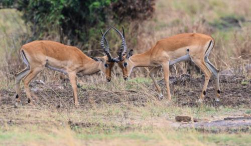 Grant Gazelles Fighting  21  Nature  Gold  Peter  Bartens