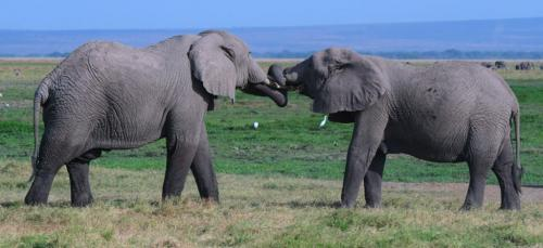 African Bull Elephants fighting   21  Nature  Gold  Peter  Bartens