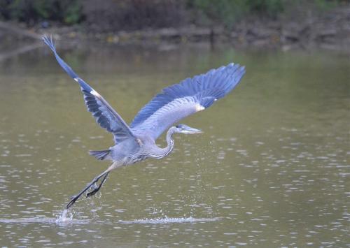 Great Blue Heron  20  Nature  Gold  Colleen  Bird