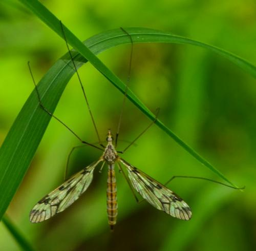 Cranefly  17.5  Nature  Gold   this would have been an nice nature image if the cranefly had been sharp. As it is, it is out of focus.