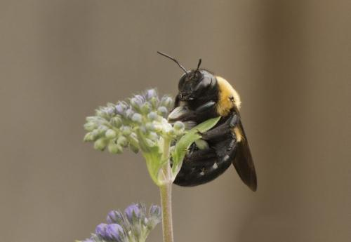 Female Carpenter Bee  22  Nature  Gold  Judy  Boufford