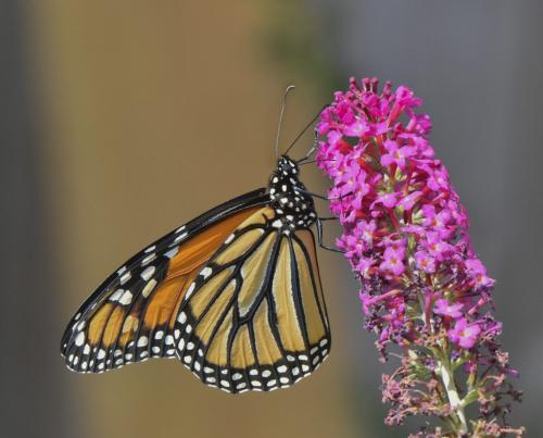 Monarch Butterfly  22  Nature  Gold  Judy  Boufford