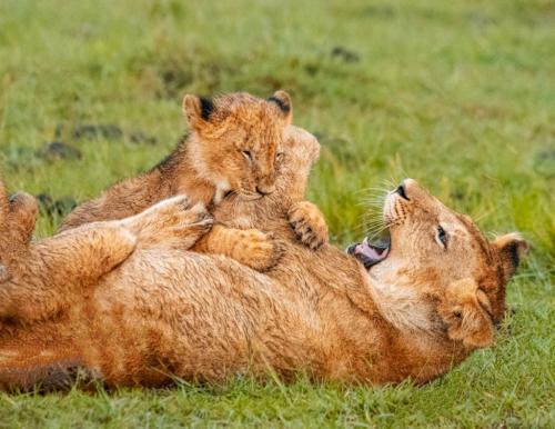 Lion Cubs  20.5  Nature  Gold  John  Chapman