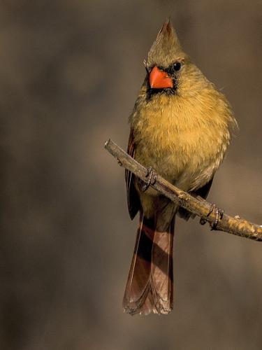 Female Cardinal  24  Nature  Gold  Dan  Copeland