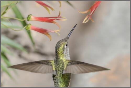 Female Coster's Humming Bird  18.5  Pictorial  Silver  Peter  Chow