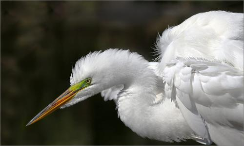Great Egret  23.5  Nature  Silver  Peter  Chow  Great exposure on  the whites but dark background is very noisy.