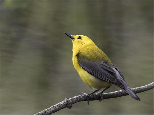 Prothonotary Warbler  24  Nature  Silver  Peter  Chow