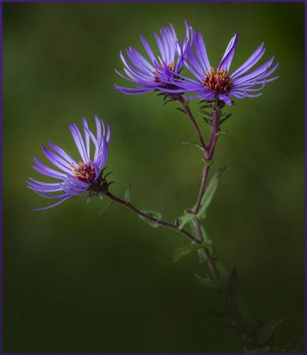 New England Asters  23.5  Nature  Gold  Doug  Doede