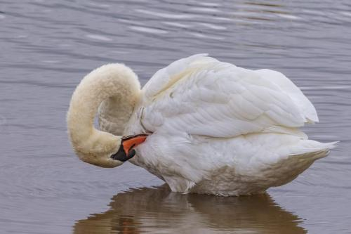 Mute Swan Grooming  22  Nature  Gold  Geoff  Dunn