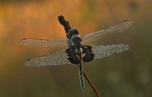 Black Saddlebags Dragonfly  25  Nature  Master  Heather  Engel