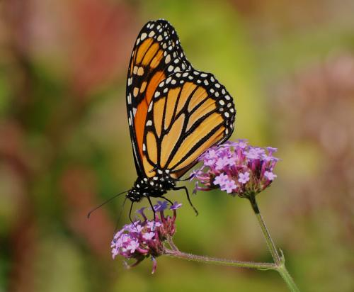 Monarch Butterfly  23  Nature  Master  Heather  Engel