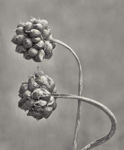 Wild garlic-2  21.5  Nature  Gold  Ed  Espin