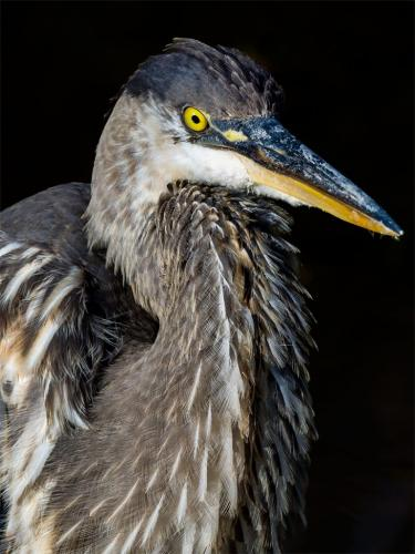 Great Blue Heron  23  Nature  Silver  Brian  Floyd  This is a juvenile great blue heron.. Upper beak is  too blue...reduce saturation there as well as in the feathers further back. Avoid black backgrounds in nature for subjects that are not nocturnal. Leave more space in front of the bird. Great feather detail.