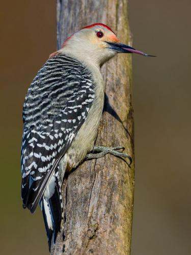 Red-bellied Woodpecker Raspberry  23.5  Nature  Silver  Brian  Floyd