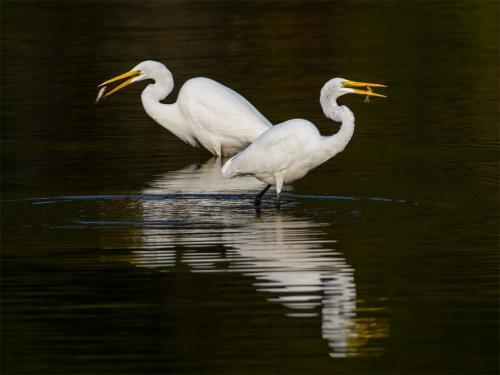 Synchronized Great Egrets  23.5  Nature  Silver  Brian  Floyd