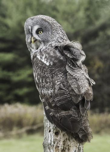 S-N-120-great grey owl  21.5  Nature  Silver  Claudia  Grabner