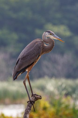 Great blue heron  20.5  Nature  Silver  Marcus  Kelly