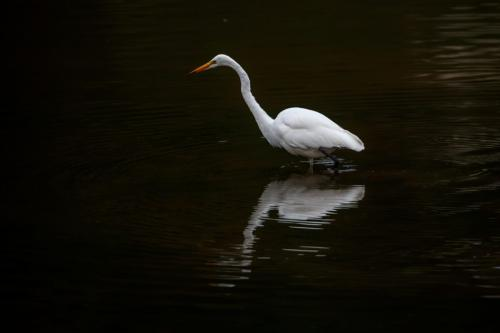 Great egret  20  Nature  Silver  Marcus  Kelly
