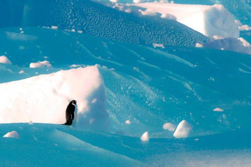 Adelie Penguin on Old Ice  16.5  Nature  Silver    Nice subject.  Unfortunately nothing is sharp.Good attempt, but the image lacks sharpness, and the blues are over-saturated.