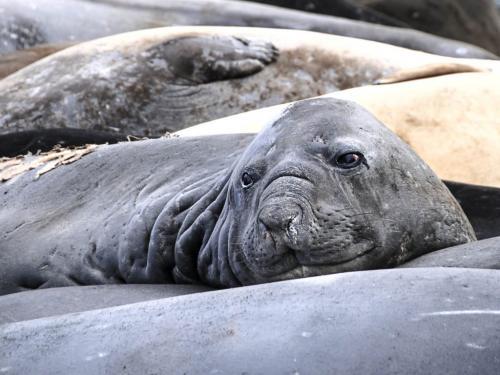 Elephant Seals molting  21  Nature  Silver  John  Lamont