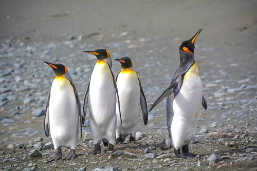 King Penguins  18.5  Nature  Silver  John  Lamont  Nice composition but too much sharpening or clarity used