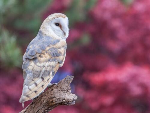 Barn owl fall colours  21.5  Pictorial  Silver  Andy  Langs