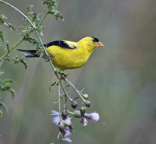 American Goldfinch  24  Nature  Master  Gary  Love