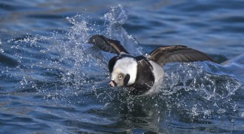 Longtail Duck  21  Nature  Master  Gary  Love