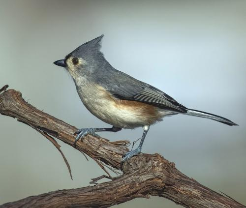 Tufted Titmouse  25.5  Nature  Master  Gary  Love