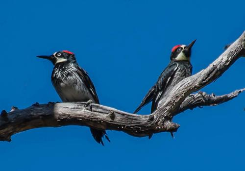 Acorn woodpeckers  18  Nature  Gold  Jim  Maguire  Good nature subjects. but technical issues prevent marks being higher/ Light is very harsh, birds are not sharp and there are bright thin halos surrounding the subjects....likely due to too much sharpening and use of noise reduction software.