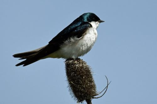 Tree Swallow  20  Nature  Gold  Derrick  May