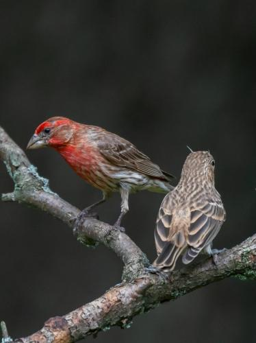 HOUSE FINCH MALE AND FEMALE  22  Nature  Silver  Herb  McClelland