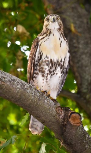 Red Tail Hawk  20.5  Nature  Bronze  Loretta  Monteleone