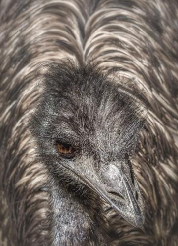 Emu portrait  20.5  Nature  Gold  Bela  Acs