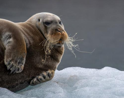 Bearded Seal in Svalbard  25  Nature  Master  John  Overmeyer