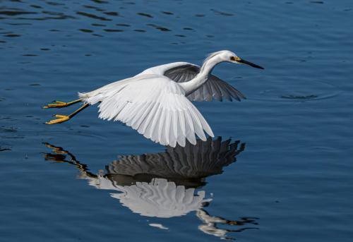 Snowy Egret 7 8 8.5 23.5 HM SPP Herb McClelland  Nature Silver