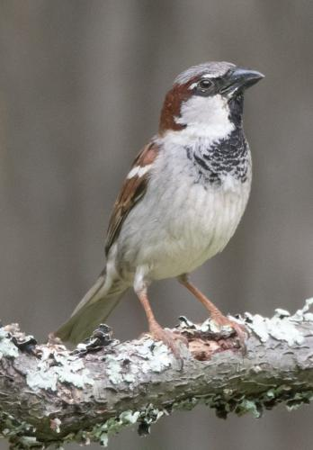 House Sparrow - Male 6.5 7 7.5 21 Herb McClelland  Nature Silver