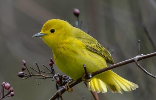 Yellow Warbler 5.5 7.5 7 20 Herb McClelland  Nature Silver